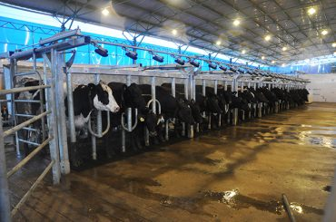 kurtsan_parallel_milking